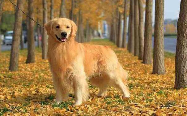 金毛吃什么狗粮好金毛吃什么毛色好g